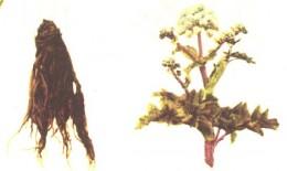 angelica planta medicinala