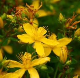 plante medicinale sunatoarea