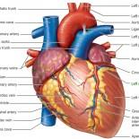 inima anatomie