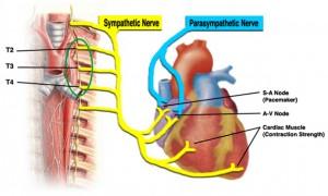 inima inervatie