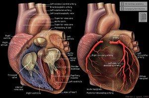 artera coronara dreapta