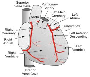 artera coronara stanga